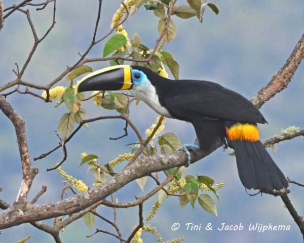 Channel-billed Toucan (Yellow-ridged)