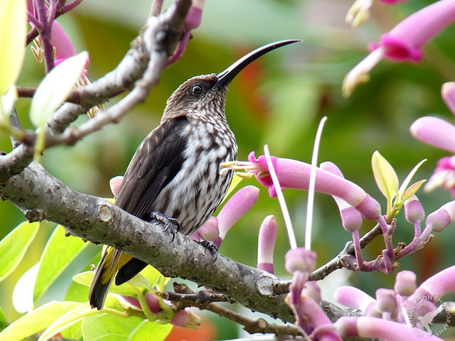 Whitehead's Spiderhunter