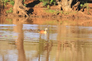 South African Shelduck