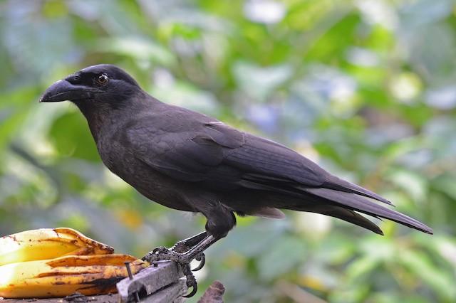Jamaican Crow