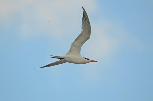 Royal Tern (American)