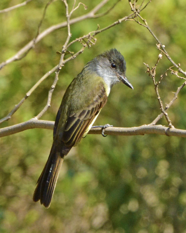 Dusky-capped Flycatcher (nigriceps/atriceps) - Tini & Jacob Wijpkema