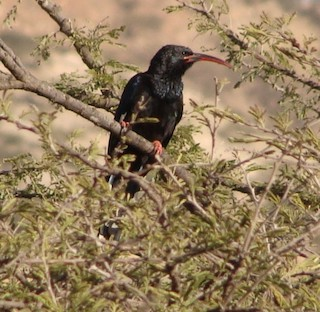 Black-billed Woodhoopoe