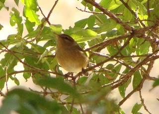 Brown Woodland-Warbler