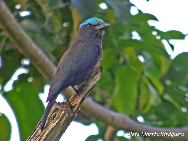 Purple-winged Roller