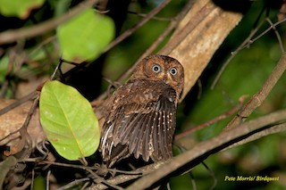 - Moheli Scops-Owl