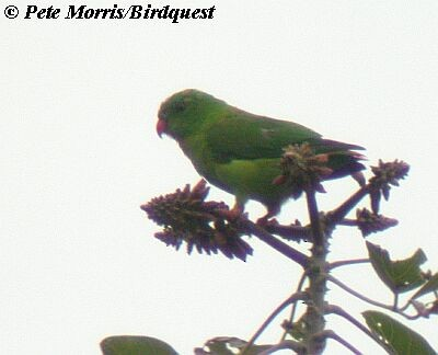Yellow-throated Hanging-Parrot