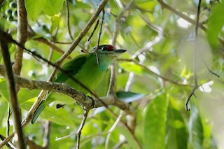 - Turquoise-throated Barbet