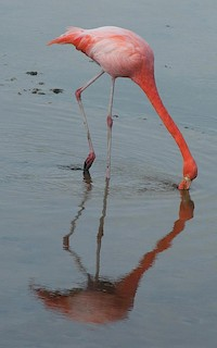 American Flamingo, ML205879161