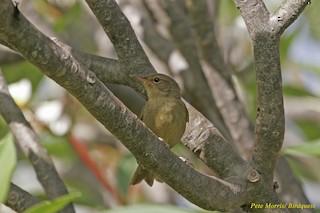 - Anjouan Brush-Warbler
