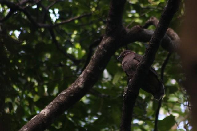 Amethyst Brown-Dove (Amethyst)