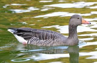 Graylag Goose (European)