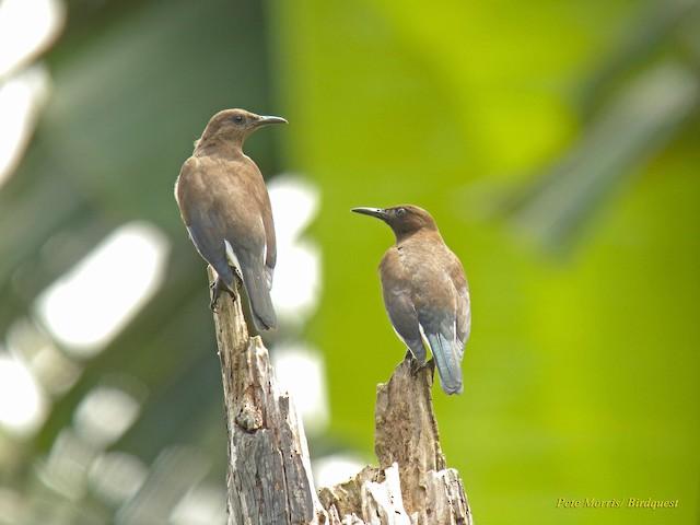 Madagascar Starling