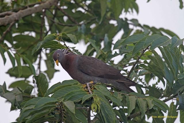 Comoro Pigeon