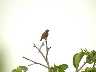 - Humblot's Sunbird