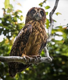 - Fearful Owl