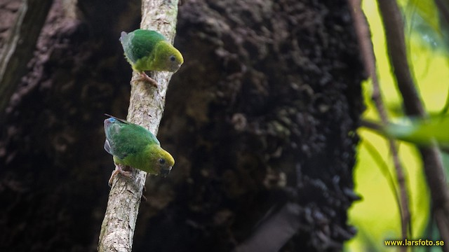 ©Lars Petersson - Yellow-capped Pygmy-Parrot
