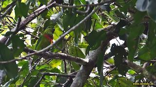- Salvadori's Fig-Parrot