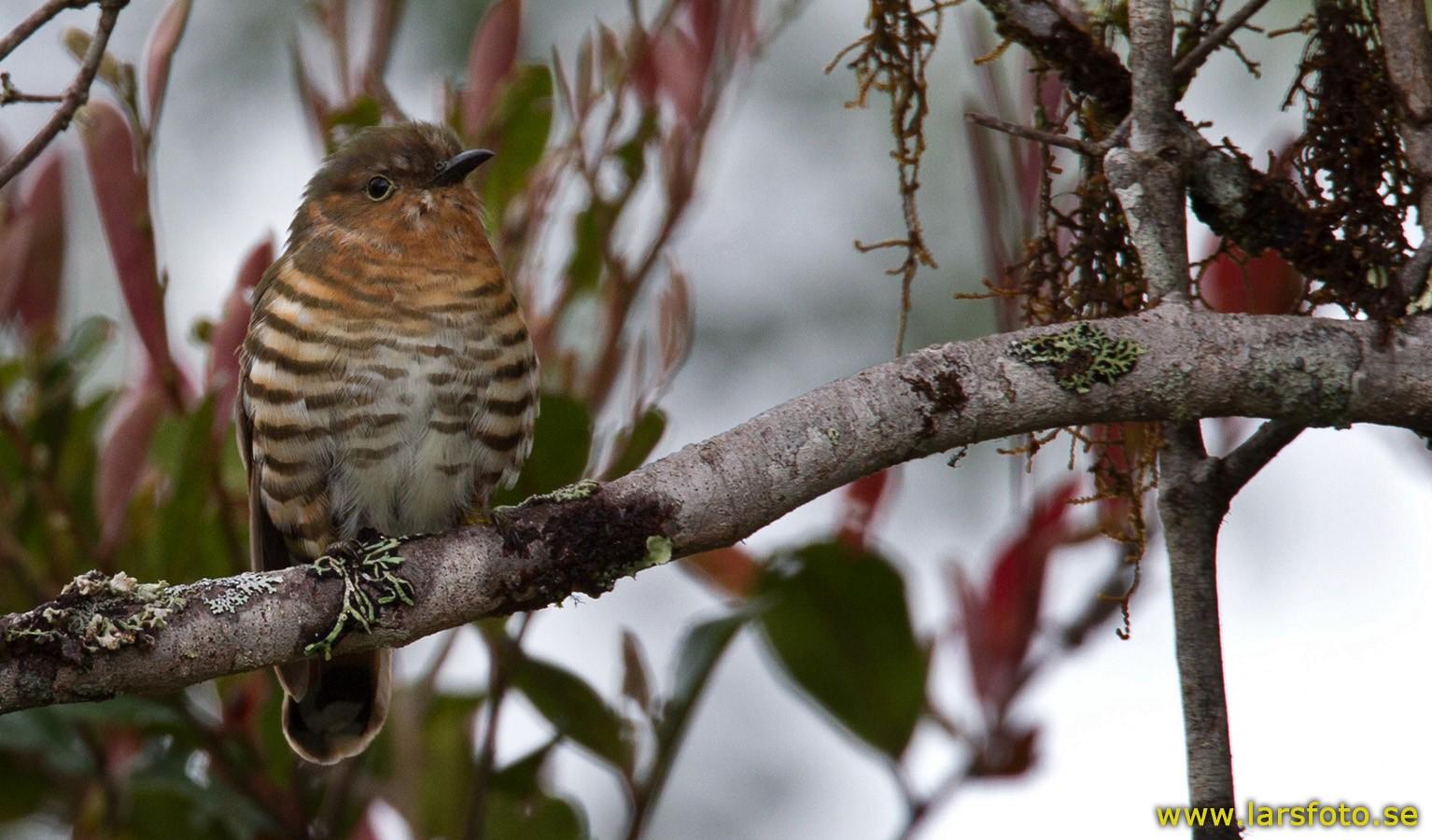 Rufous-throated Bronze-Cuckoo - Lars Petersson