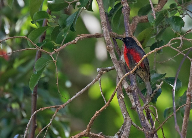Red-bellied Myzomela