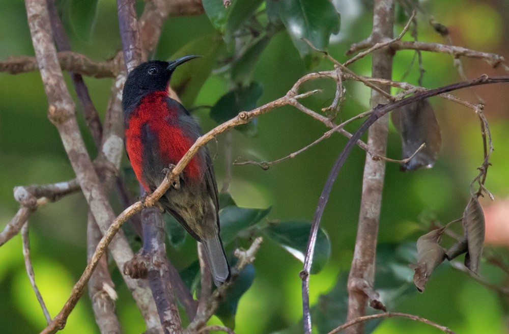 Red-bellied Myzomela - Lars Petersson