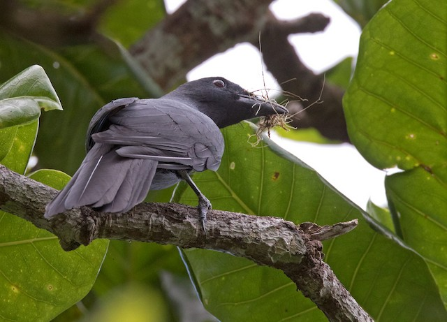 North Melanesian Cuckooshrike