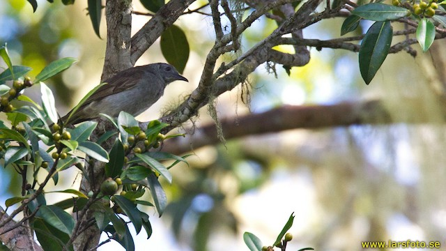 Marbled Honeyeater