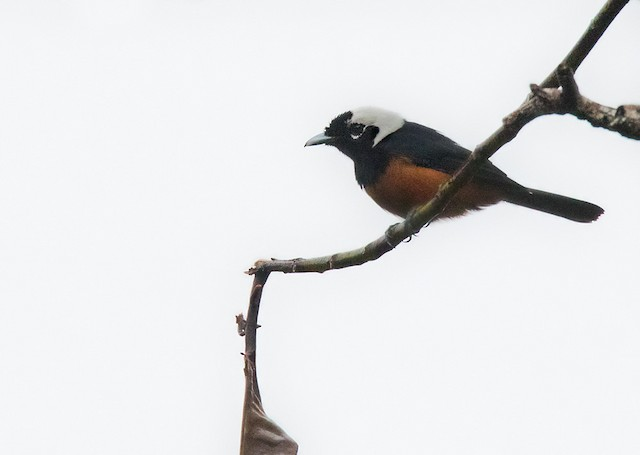 White-capped Monarch
