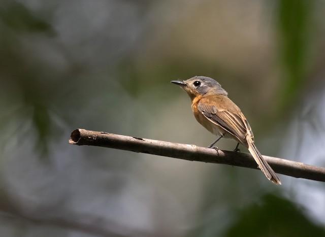 Ochre-headed Flycatcher