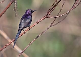 - Bocage's Sunbird