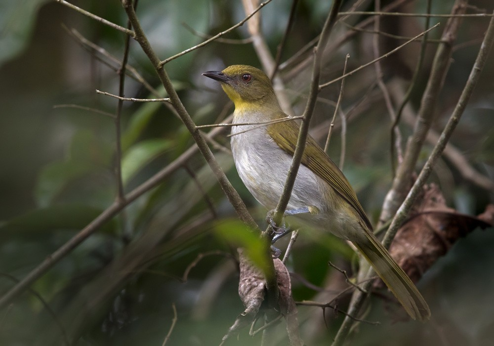 Yellow-necked Greenbul - Lars Petersson