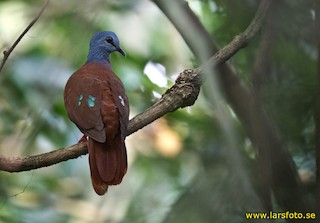 - Blue-headed Wood-Dove