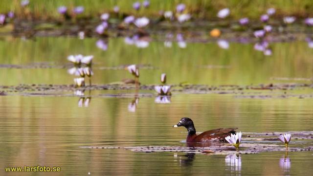 Hartlaub's Duck
