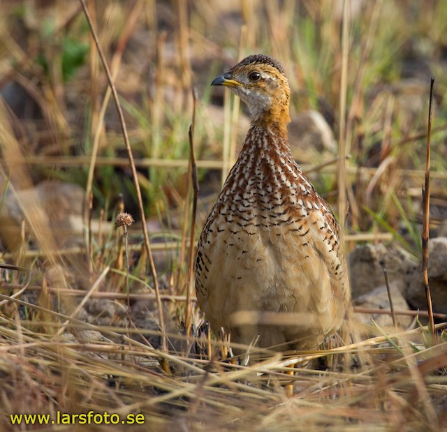 White-throated Francolin (White-throated)