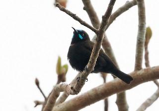 - Green-throated Sunbird