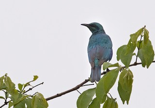 - Sharp-tailed Starling