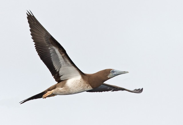Brown Booby (Forster's)