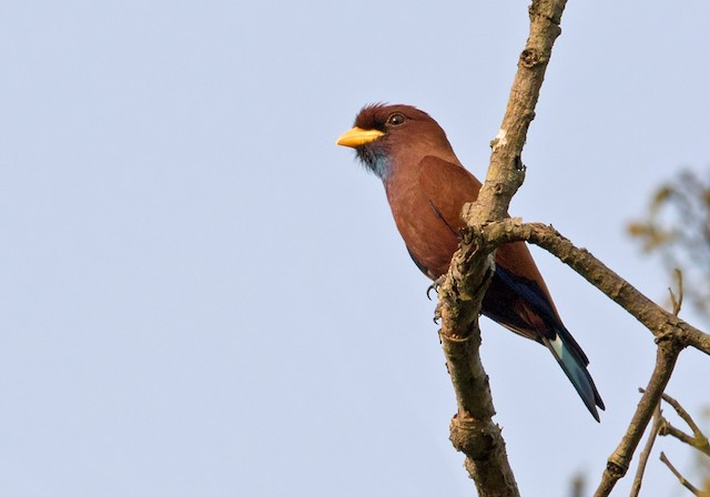 Blue-throated Roller