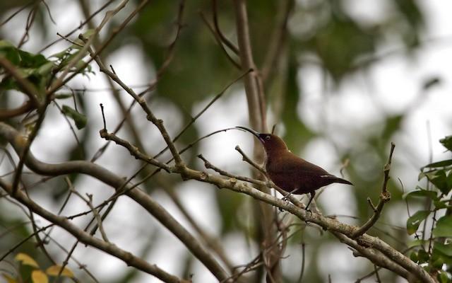 Carmelite Sunbird