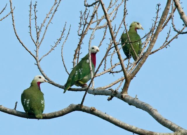 White-headed Fruit-Dove