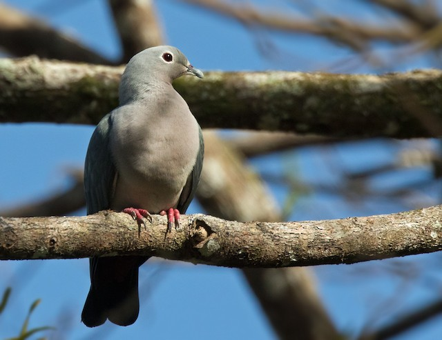 Island Imperial-Pigeon