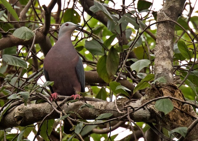Chestnut-bellied Imperial-Pigeon