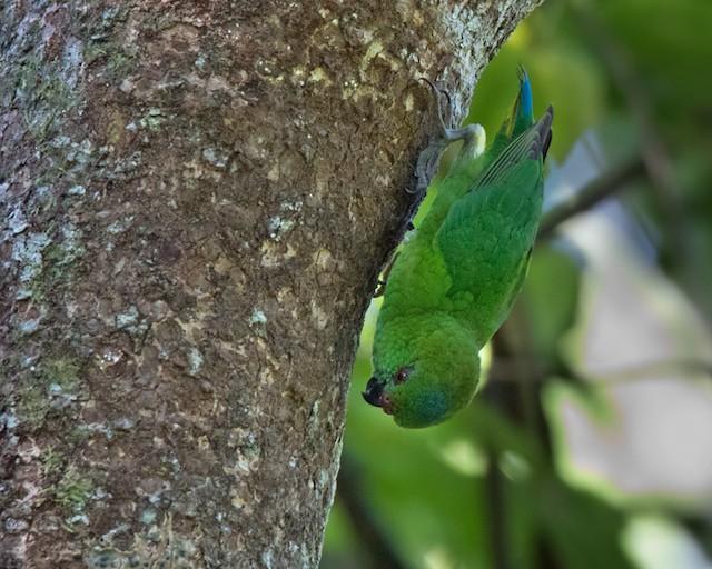 ©Lars Petersson - Finsch's Pygmy-Parrot