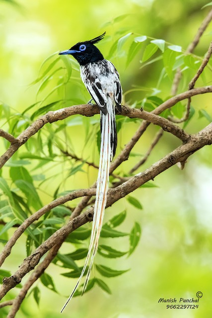 Indian Paradise-Flycatcher