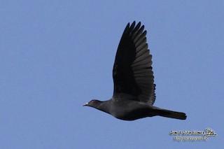 - Bismarck Imperial-Pigeon