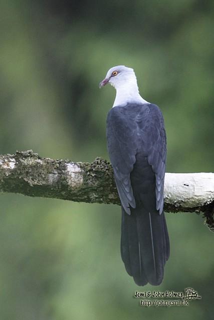 Pied Cuckoo-Dove