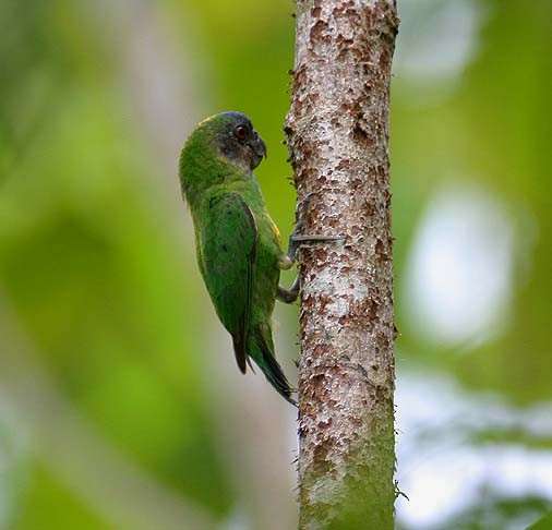 ©Mehd Halaouate - Geelvink Pygmy-Parrot