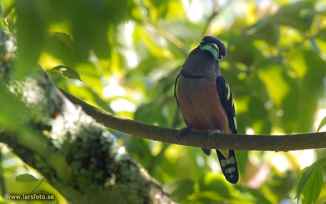 Banded Broadbill (Javan)