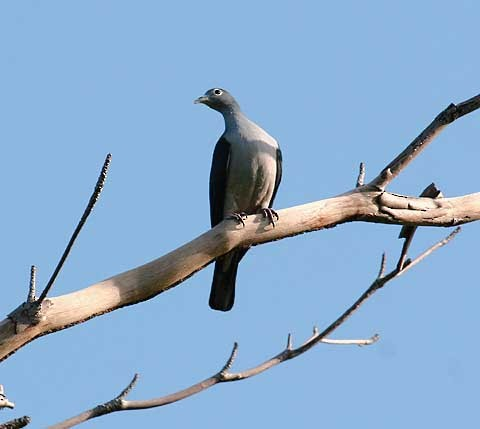 Spectacled Imperial-Pigeon