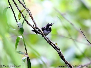 - White-bellied Thicket-Fantail